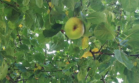 Apfelbaum im Schlossgarten Schwetzingen; Foto: Staatliche Schlösser und Gärten Baden-Württemberg, Wolfgang Schröck-Schmidt