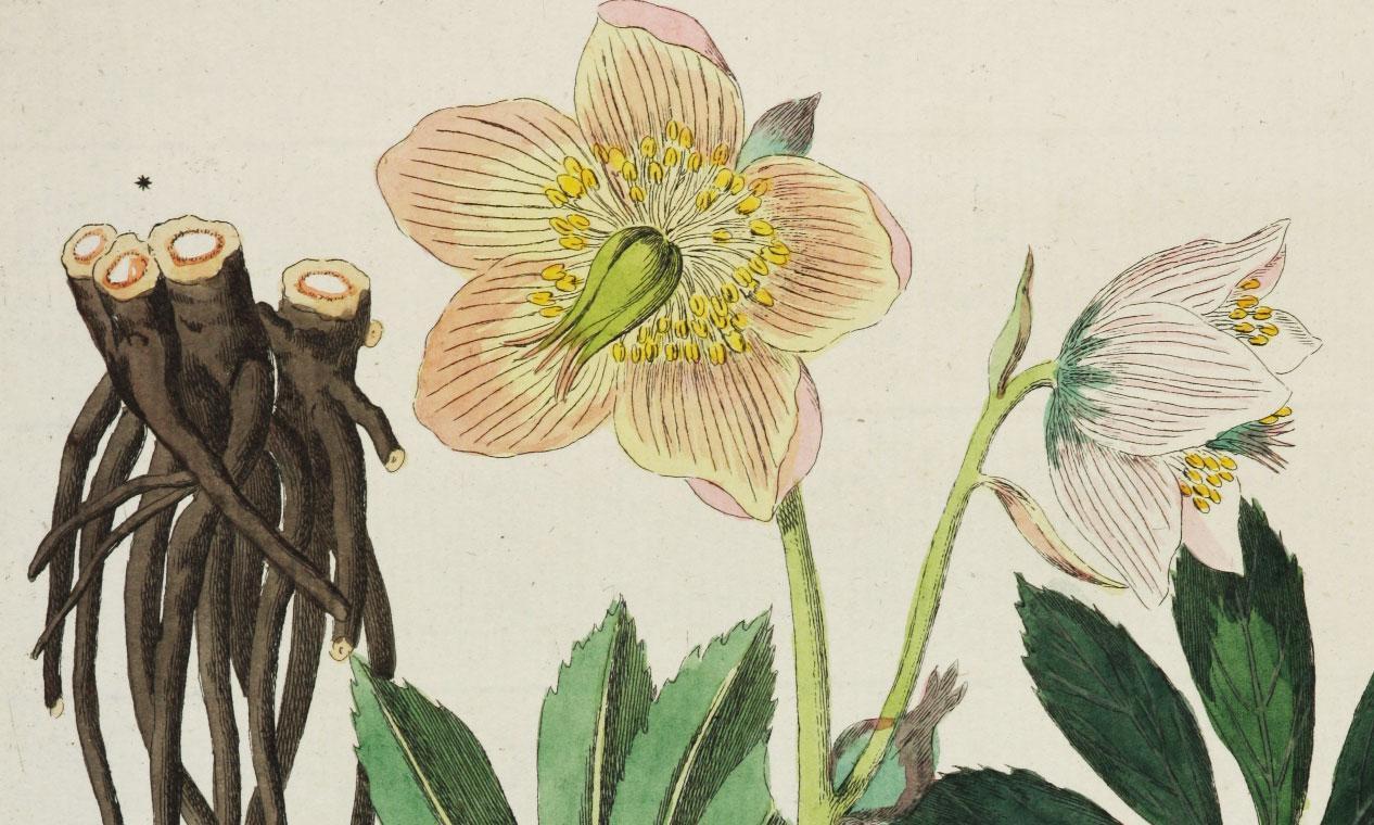 Christrose aus Friedrich Dreves: Botanisches Bilderbuch für die Jugend und Freunde der Pflanzenkunde, 5 Bände, Leipzig 1794-1819; Foto: Universitätsbibliothek Leipzig, 2013