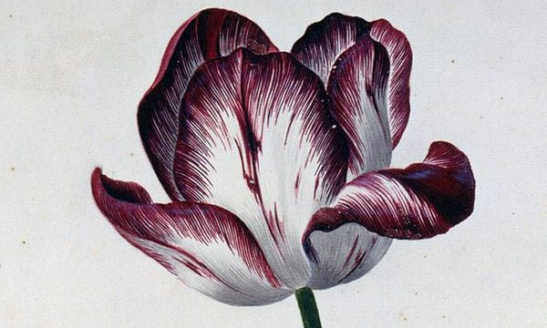 Aquarellblatt aus dem Karlsruher Tulpenbuch