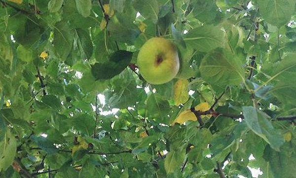 Apfelbaum im Schlossgarten Schwetzingen