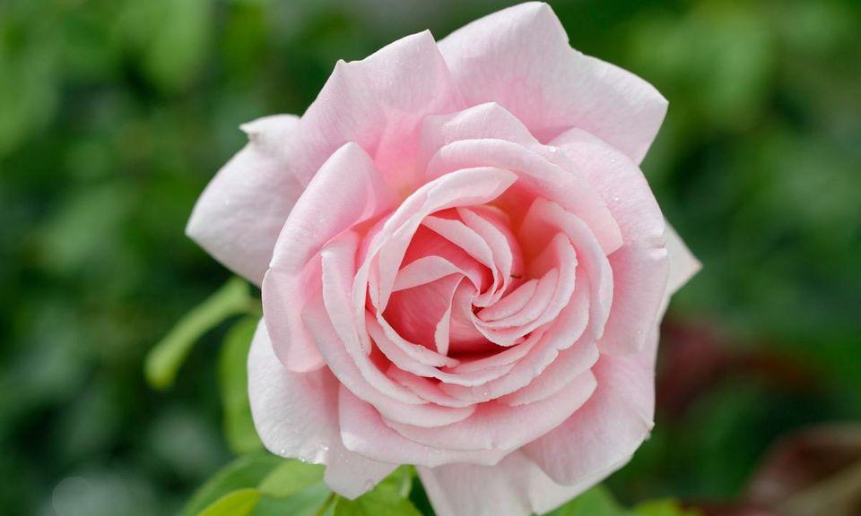 Rosenblüte in strahlendem Rosarot